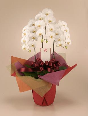 個展、出展のお祝い花 *胡蝶蘭(こちょうらん)* 白 お祝い用(LL)