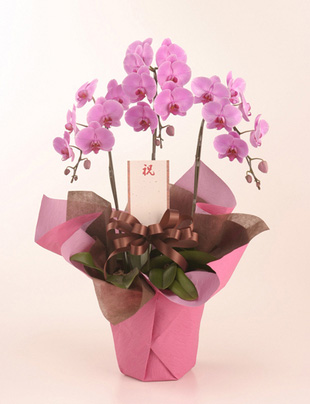 古希のお祝い花 *胡蝶蘭(こちょうらん)* ピンク お祝い用(L)
