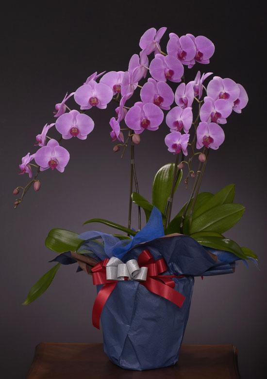 傘寿祝いの花 *胡蝶蘭(こちょうらん)* ピンク お祝い用(LLロング)