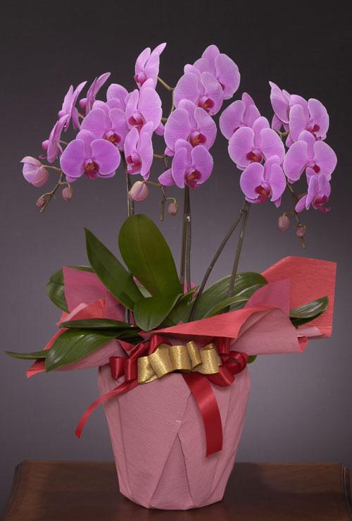 リニューアル、改装のお祝い花 *胡蝶蘭(こちょうらん)* ピンク お祝い用(LL)