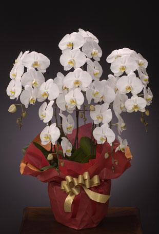 リニューアル、改装のお祝い花 *胡蝶蘭(こちょうらん)* 白 お祝い用 5本立ち(LL)