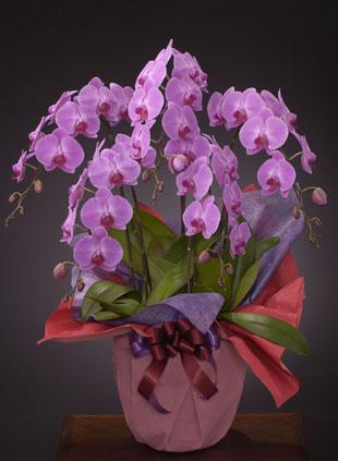 リニューアル、改装のお祝い花 *胡蝶蘭(こちょうらん)* ピンク お祝い用 5本立ち(LL)