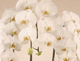 *胡蝶蘭*高級感のある可憐なお花です