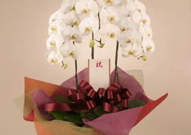 *胡蝶蘭*きれいにラッピングして立て札をお付けします
