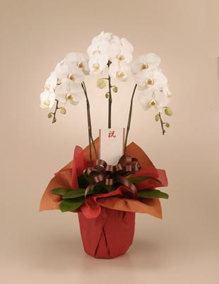 開店・開業の花●胡蝶蘭 白(L)3本立ち