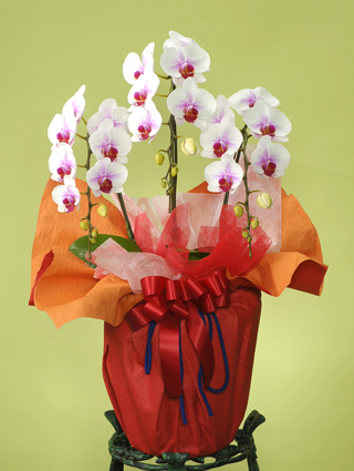 開店・開業の花●胡蝶蘭 紅白(L)3本立ち