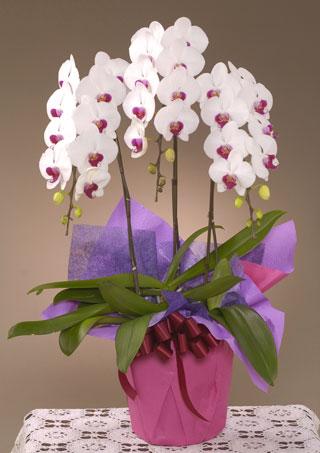 開店・開業の花●胡蝶蘭 紅白(LL)3本立ち
