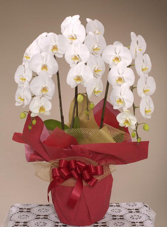 開店・開業の花●胡蝶蘭 白(3L)3本立ち