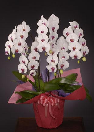開店・開業の花●胡蝶蘭 紅白(LL)5本立ち
