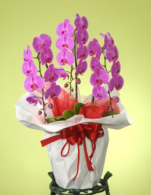 還暦の花●胡蝶蘭 ピンク(LL)3本立ち