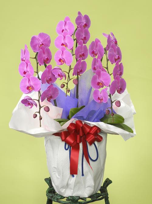 古希・喜寿の花●胡蝶蘭 ピンク(LL)3本立ち