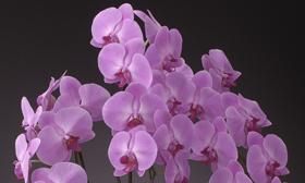 気品と存在感のあふれる胡蝶蘭です
