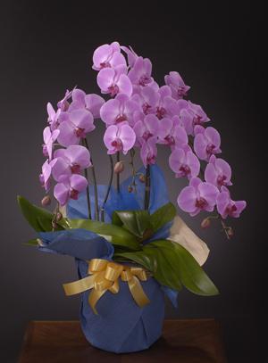 古希・喜寿の花●胡蝶蘭 ピンク(3L)3本立ち