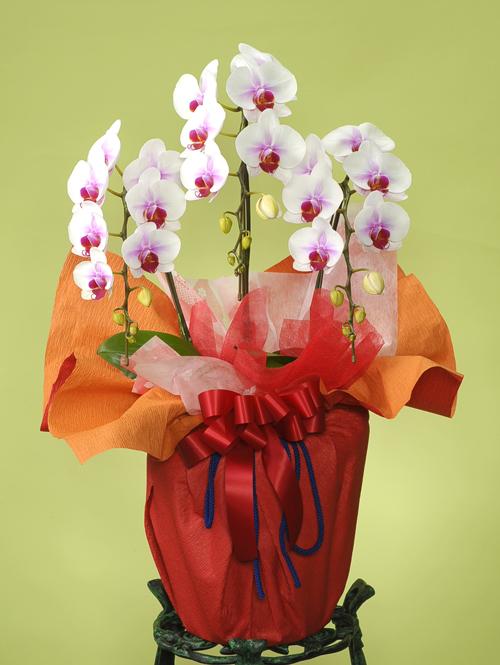 お祝い花●胡蝶蘭 紅白(L)3本立ち