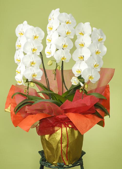 お祝い花●胡蝶蘭 白(LL)3本立ち