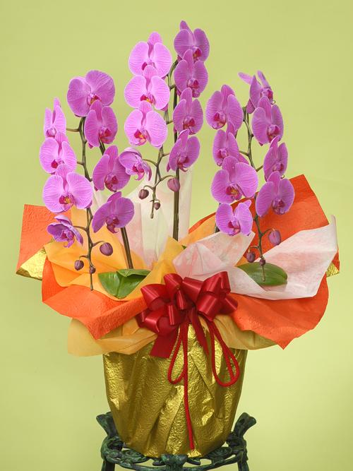 お祝い花●胡蝶蘭 ピンク(LL)3本立ち