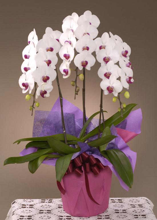 お祝い花●胡蝶蘭 紅白(LL)3本立ち