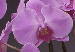 胡蝶蘭 華やかなピンク色がとってもキレイ!