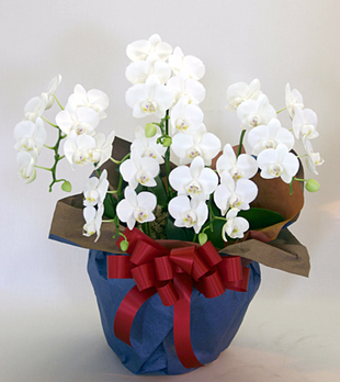 誕生日■胡蝶蘭(コチョウラン) 白ミディ5本立ち